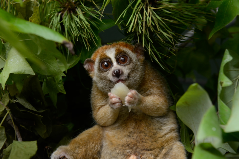 Animal of the Week: The Loris