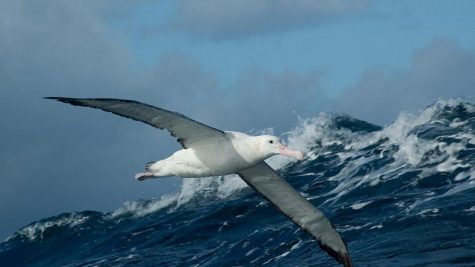 Animal of the Week: The Wandering Albatross