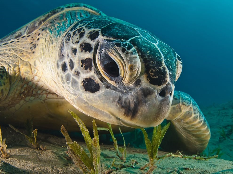 Animal of the Week: The Green Sea Turtle