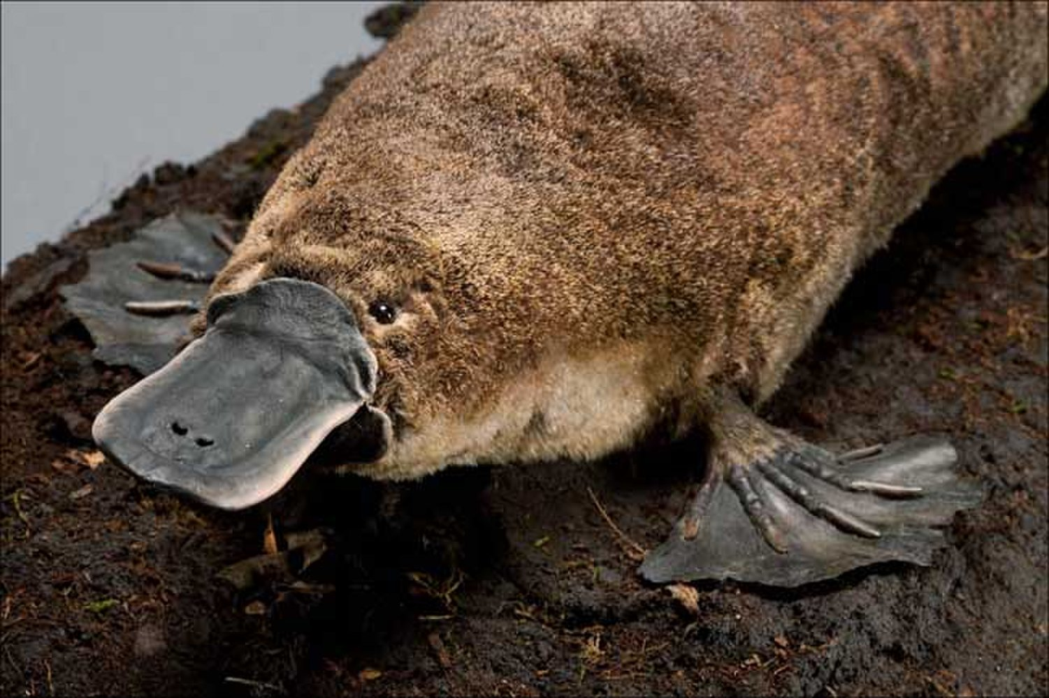 Animal of the Week: The Platypus